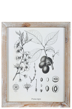 "UTC17511 Wood Rectangle Wall Art with Washed Frame and ""Prunus Nigra or Canadian Plum"" Printed Rough Finish White"