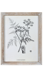 "UTC17512 Wood Rectangle Wall Art with Frame and ""Conium Maculatum or Hemlock"" Printed Rough Finish White"