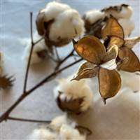 Cotton Stalk Natural