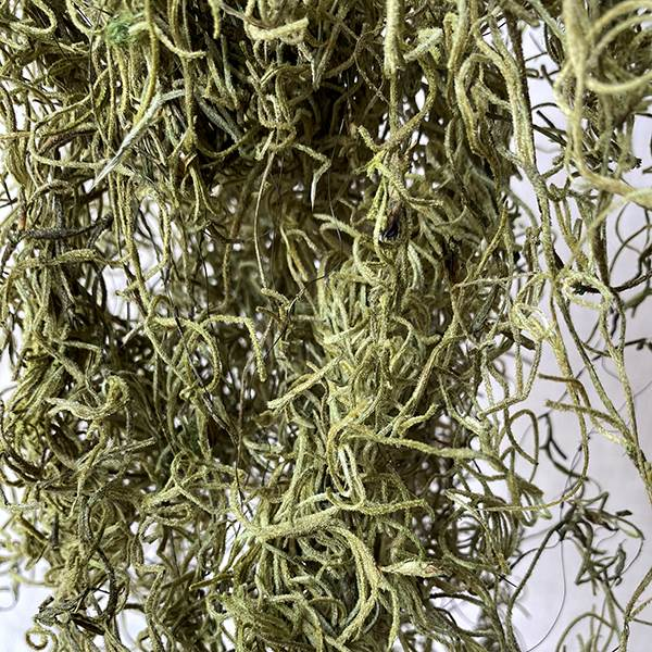 Spanish Moss Light Green