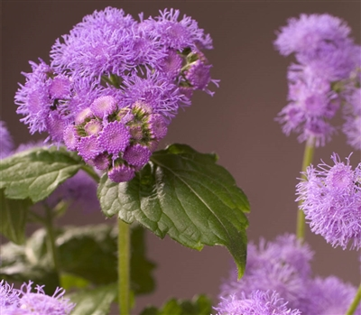 Ageratum Blue Planet Pellets