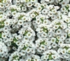 Alyssum Carpet O Snow