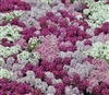 Alyssum Pixie Bright Mix