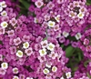 Alyssum Royal Carpet