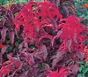 Amaranthus Early Splendour