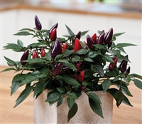Chilli Acapulco Purple 'Orn'