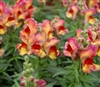 Antirrhinum Snappy Red Flame