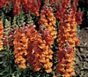 Antirrhinum Liberty Bronze