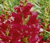 Antirrhinum Liberty Crimson