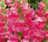 Antirrhinum Liberty Rose Pink