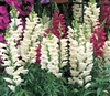 Antirrhinum Liberty White