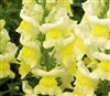 Antirrhinum Liberty Yellow