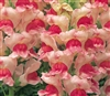 Antirrhinum Opus Apple Blossom