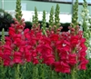 Antirrhinum Opus Radient Rose