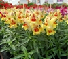 Antirrhinum Snappy Peach Flame