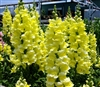 Antirrhinum Opus Yellow