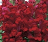 Antirrhinum Costa Red
