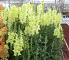 Antirrhinum Costa Yellow