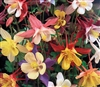 Aquilegia Mc Kanas Giants Mix