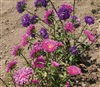 Aster King Branching Mix