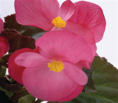 Begonia Big Rose Bronze Pellet