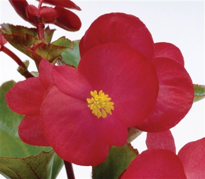 Begonia Big Red Green Pellets