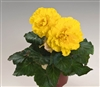 Begonia Tub Non Stop YellowPel