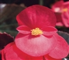 Begonia Big Red Bronze Pellets
