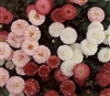 Bellis Perennis Carpet Mix