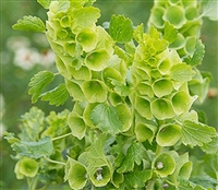 Moluccella Irish Green Bells