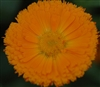 Calendula Nakayasu Orange