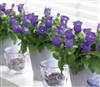 Campanula Appeal Blue Pellets
