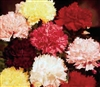 Carnation Chabaud Mix
