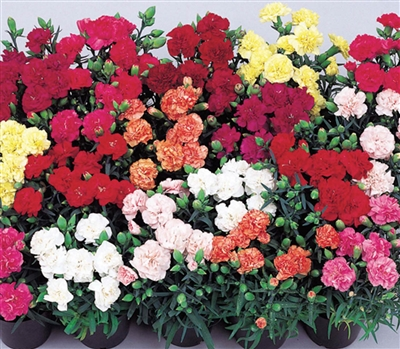 Carnation Lillipot Mix
