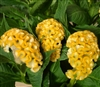 Celosia Act Yellow Gold_disc