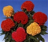 Celosia Chief Mix