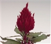 Celosia Fresh Look Red