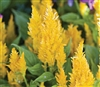 Celosia Fresh Look Yellow