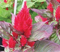 Celosia New Look Red