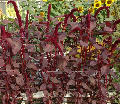Amaranthus Arabian Red