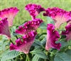 Celosia Bar Blueish
