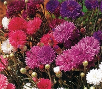 Centaurea Choice Double Mix