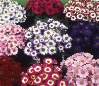 Cineraria HansaDwarf Multi Mix