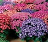 Cineraria Jester Mix Pellets