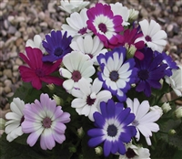 Cineraria Polaris Mix