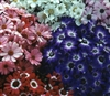 Cineraria Comet Mix_disc