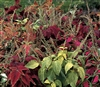 Coleus Rainbow Mix