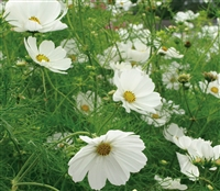 Cosmos Sensation Purity White
