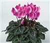 Cyclamen Laser Sync.Purp Flame