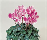 Cyclamen Laser Sync.Rose Flame